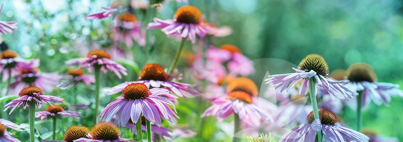 image of coneflower