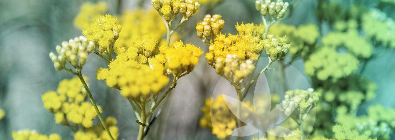 image iof Helichrysum