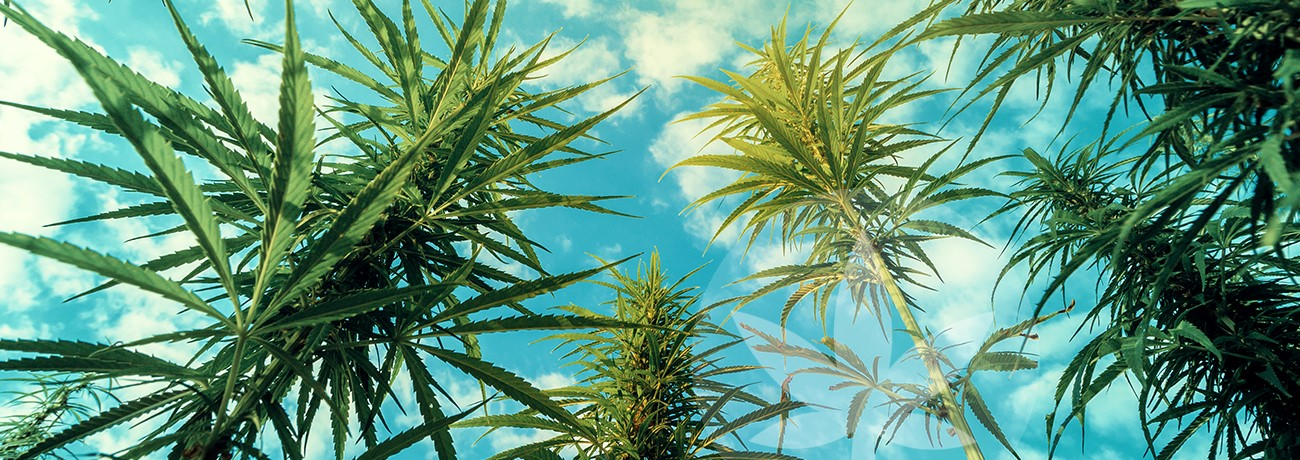 hemp and blue sky