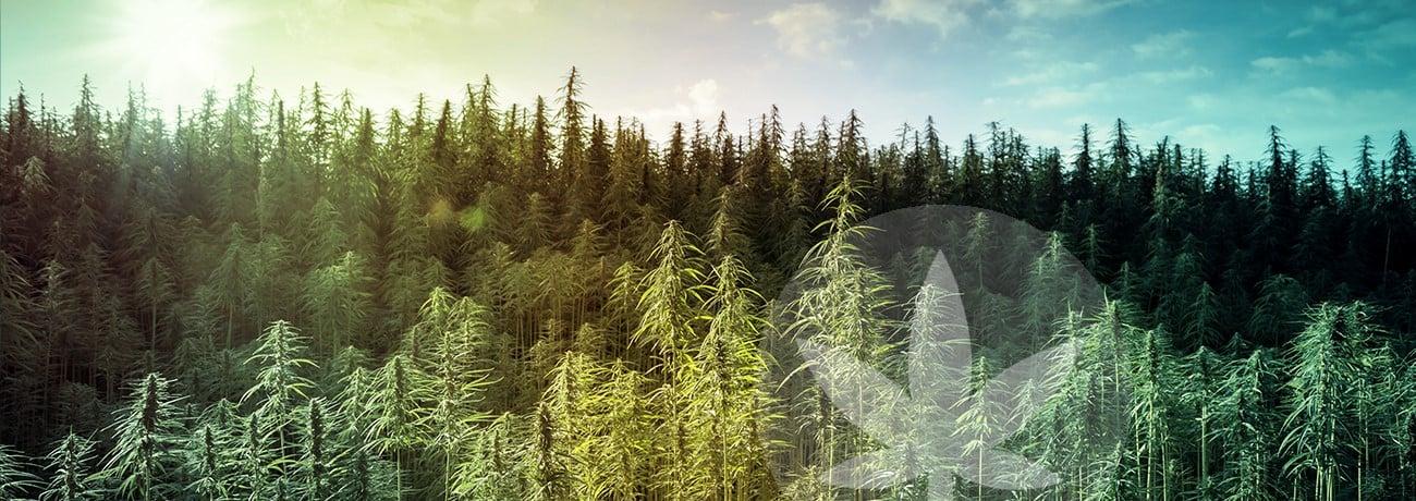 hemp field