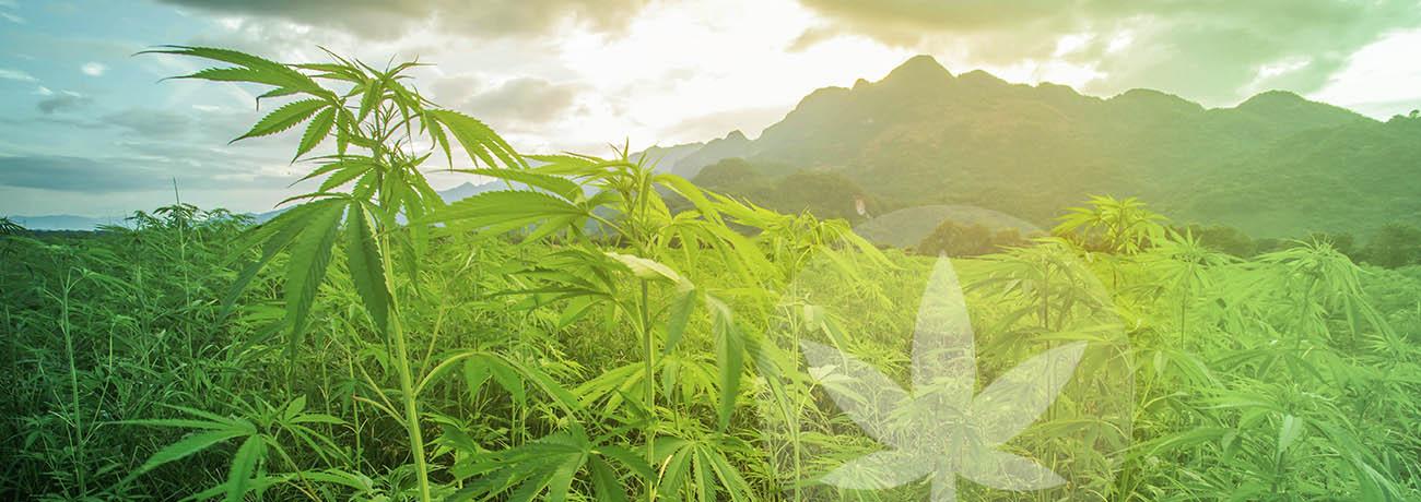 Israel: la Tierra Santa del cannabis medicinal