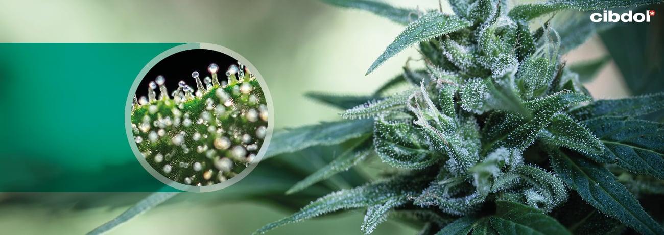 Hvordan produseres cannabinoider i cannabisplanten?