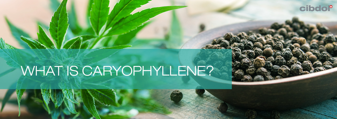 What is caryophyllene?