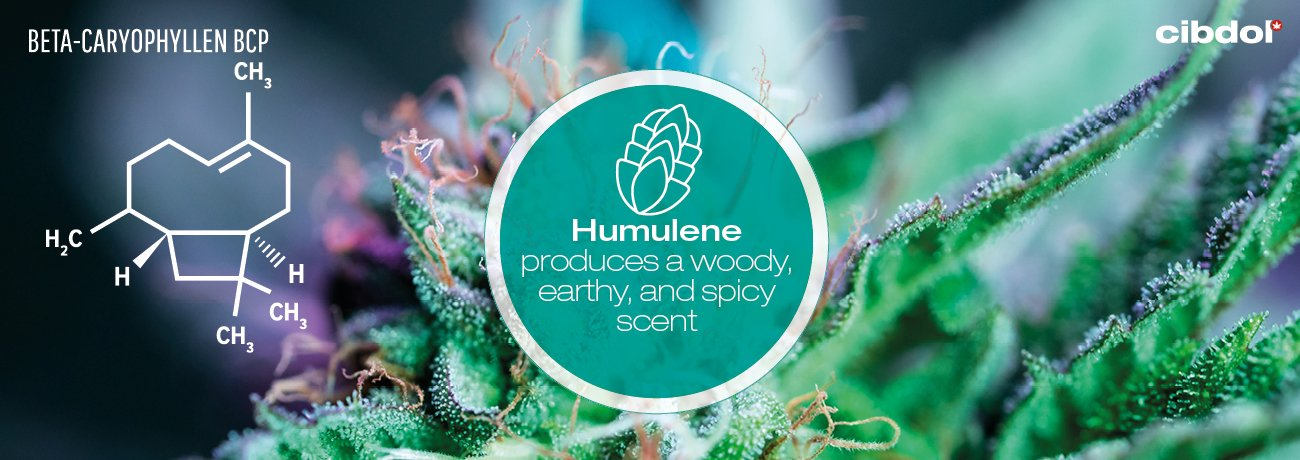 What is humulene?