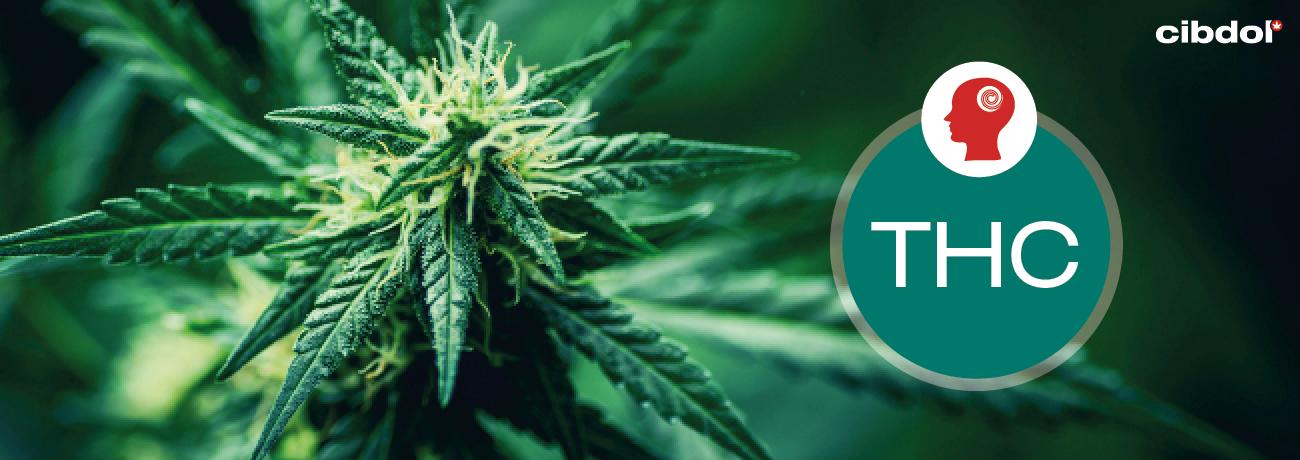 Hva er THC (tetrahydrocannabinol)?