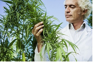 Doctor cannabis