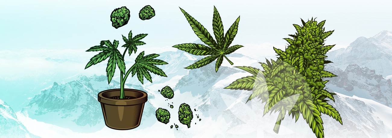 illustration of parts of cannabis plant