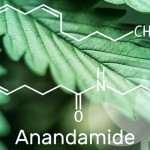 All You Need to Know About Anandamide